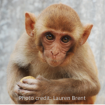 photo of baby rhesus macaque